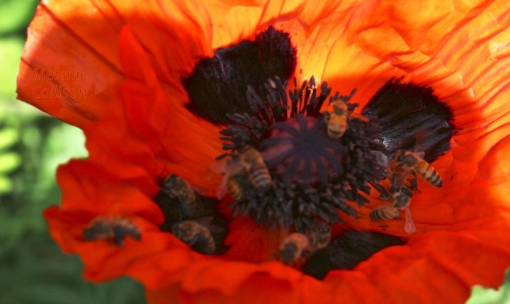 11 bees on one poppy!.jpg
